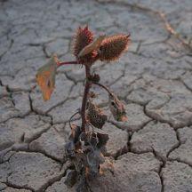 droughtplant